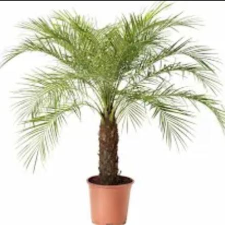 Palmeira Fênix